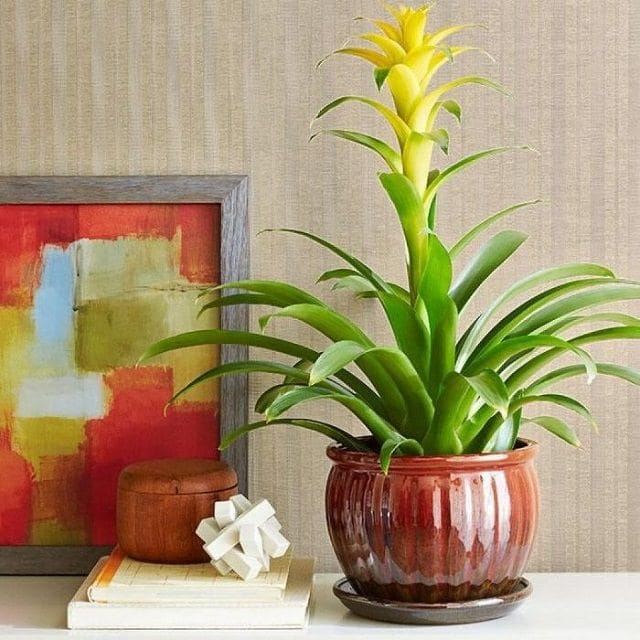 bromeliad Indoor House Plant Philodendron on indoor ivy house plants, indoor house plant cactus, indoor house plant diseases, indoor climbing plants, indoor house plant palm, indoor house plant fern,