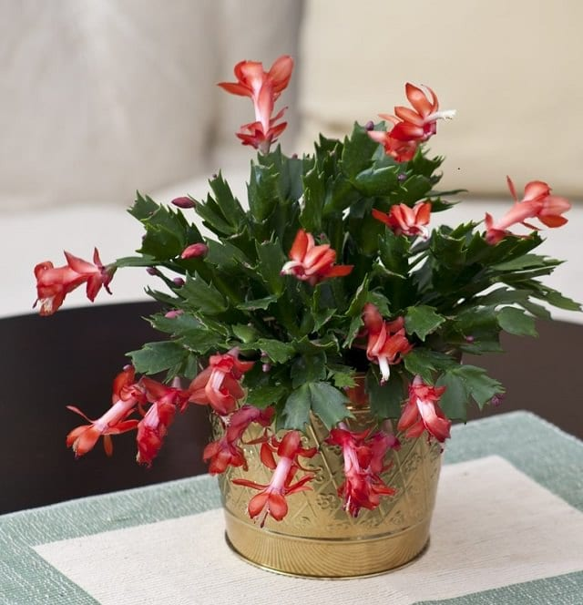 how to take care of a christmas cactus plant indoors
