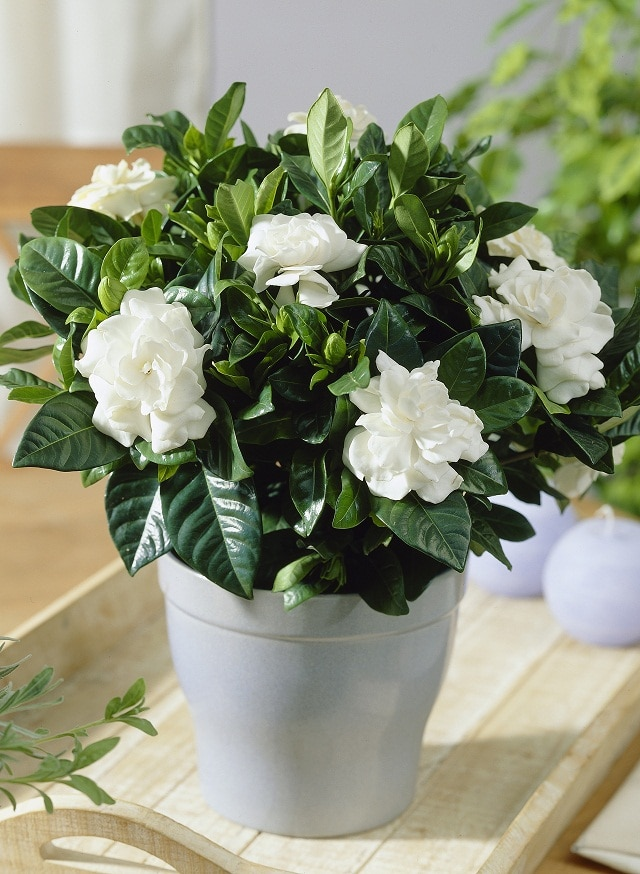 14 best houseplants for a restful sleep balcony garden web like the jasmine gardenia features big white flowers and an intoxicating fragrance that is incomparable not to mention it also comes with a sedative mightylinksfo