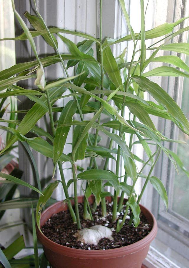 How To Grow Ginger In Pot Growing Ginger Indoors Balcony Garden Web