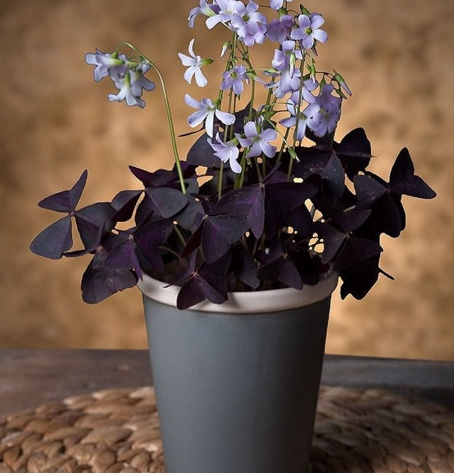 ... Flowering Plants. Oxalis Indoor