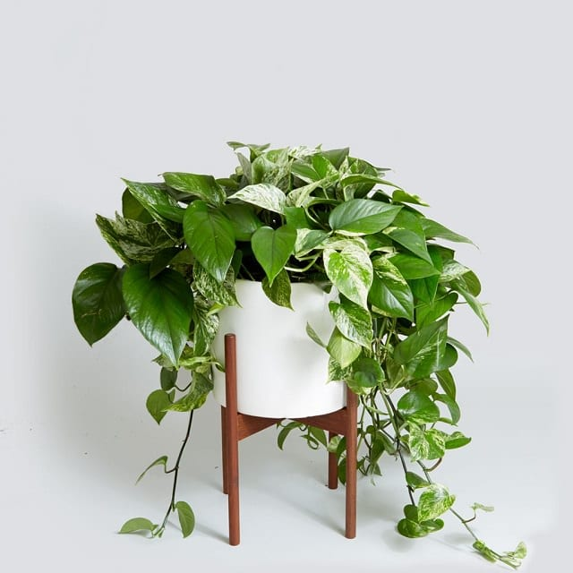 excellent long vine house plant. Pothos is a fast growing  leafy vine with striking variegated leaves that are tolerant to both irregular watering and low light conditions 19 Best Low Maintenance Houseplants Balcony Garden Web