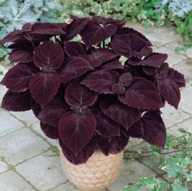 showy plant that is available in various colors and styles mostly used as an annual for outdoor gardens it is super easy to grow as an indoor plant - Flowering House Plants Purple