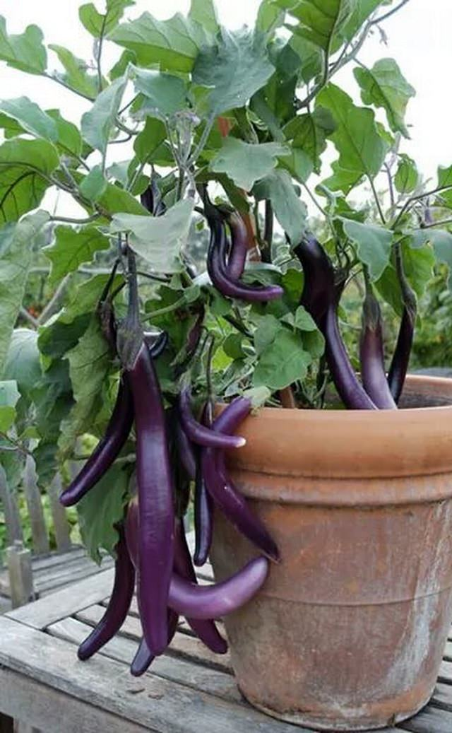 Requirements For Growing Eggplants In Containers