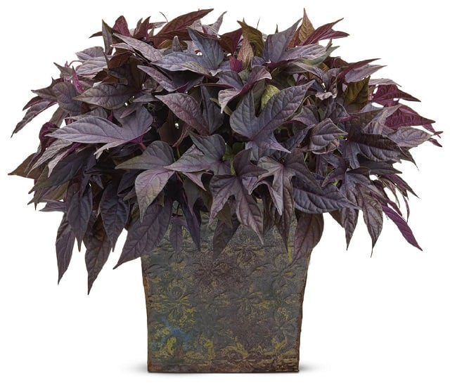 one of the most gorgeous and versatile plants around for container gardeners sweet potato vine performs well in both partial sun and shade and looks - Flowering House Plants Purple