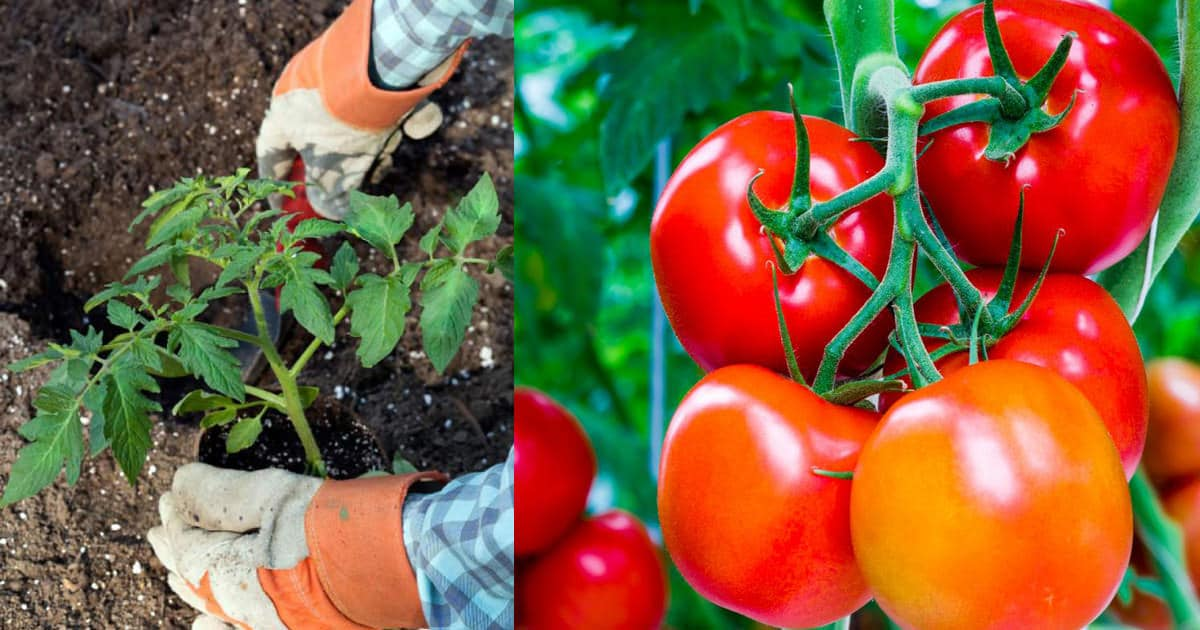 Put These 8 Things In Your Tomato Planting Hole For The Best Tomatoes Ever Balcony Garden Web