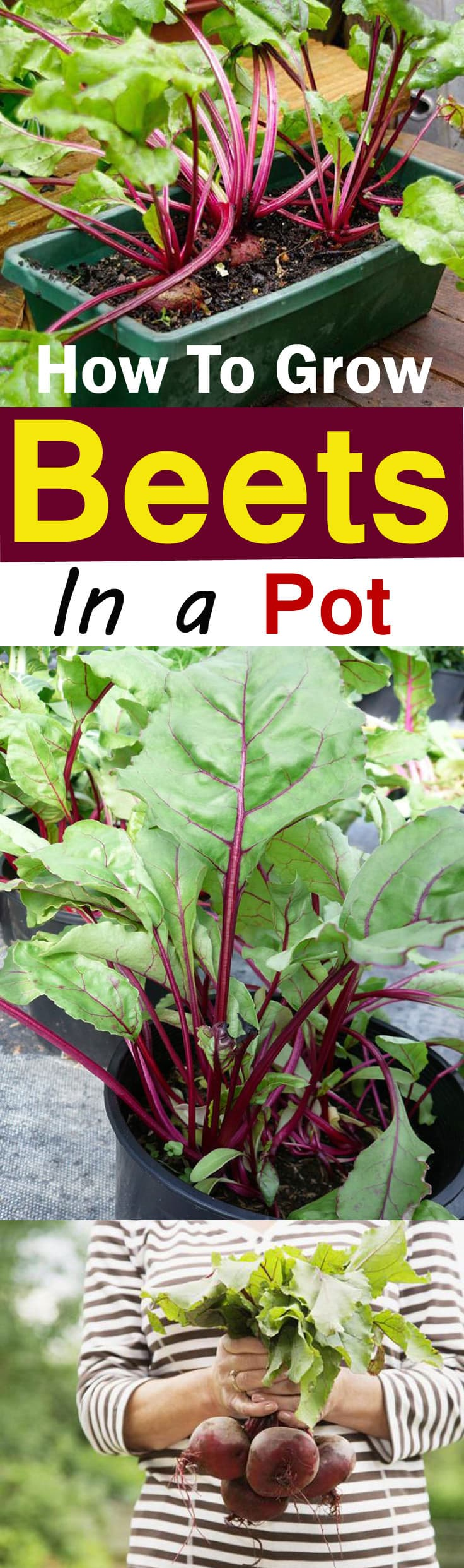 Growing Beets in Containers is easy  This quick growing vegetable doesn t  require much. Growing Beets in Containers  How to Grow Beets in Pots   Balcony