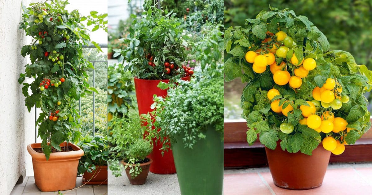 Best Tomato Varieties For Containers Balcony Garden Web