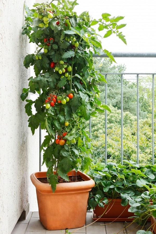 best tomato varieties for containers balcony garden web. Black Bedroom Furniture Sets. Home Design Ideas