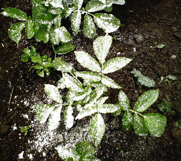 If You 39 Re A Gardener Learn About These 13 Diatomaceous Earth Uses Balcony Garden Web