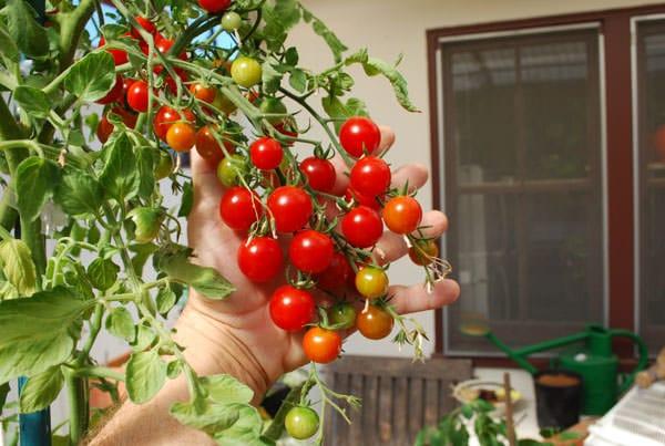 Sweet 100 Tomato