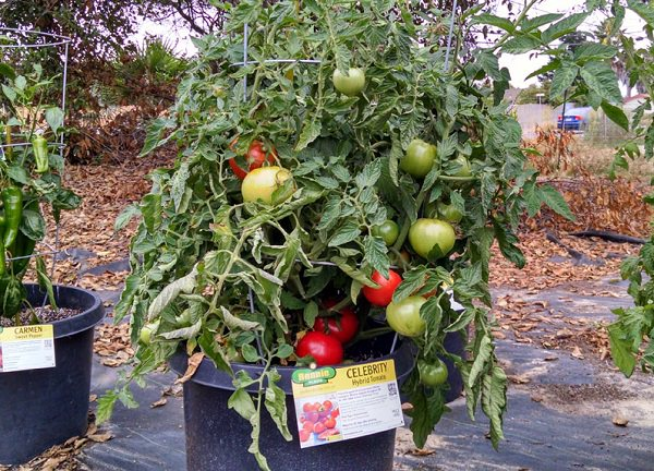 Celebrity Hybrid Tomato Seeds and Plants, Vegetable ...