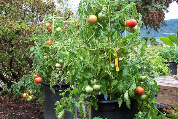 Image result for Bush Goliath Tomato in container