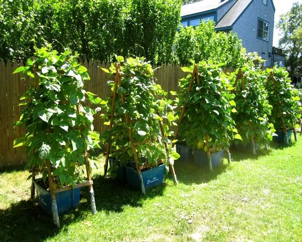 17 Best Climbing And Vining Vegetables For Containers You Can Grow Vertically | Balcony Garden Web
