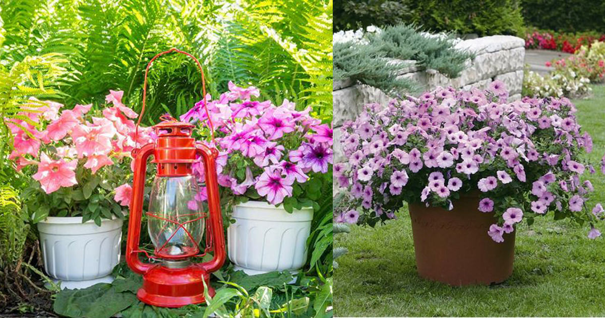 growing petunias in containers petunia care tips balcony garden web