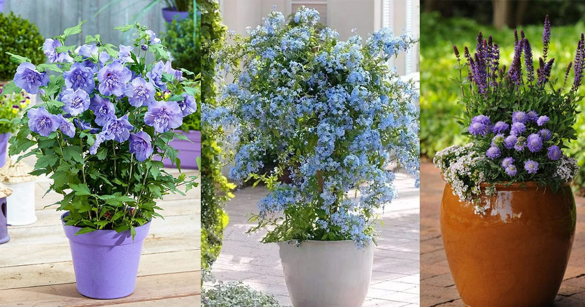 Roses In Garden: Best Blue Flowers To Grow In Containers
