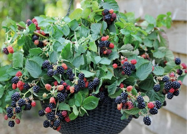 8 of the best berries to grow in containers balcony garden web. Black Bedroom Furniture Sets. Home Design Ideas
