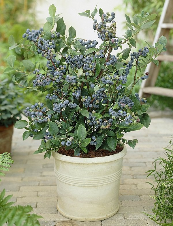 8 Of The Best Berries To Grow In Containers Balcony