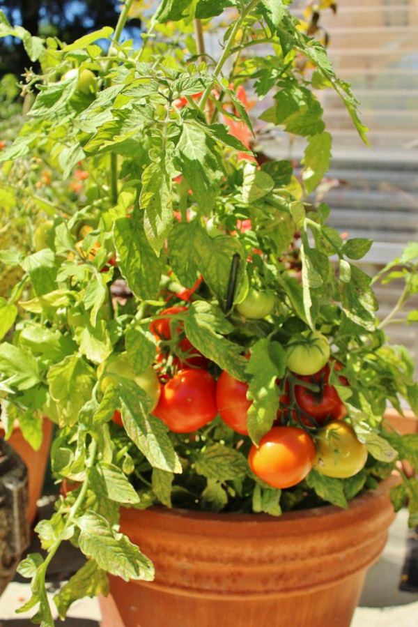 Grow Determinate Varieties Of Tomatoes If Youu0027re Short Of Space Or Growing  Tomatoes In Containers. Determinate Tomatoes Donu0027t Grow Too Tall Or Wide ...