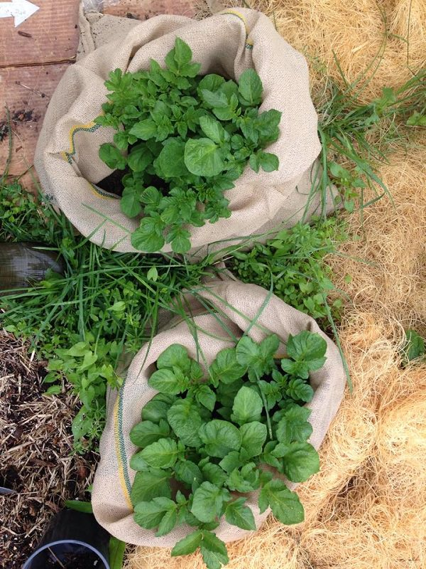 Potatoes Can Take Up A Lot Of Space In The Garden Which Is Why You Can Try  To Grow Them In Burlap Bags. Check Out The Informative U0027how Tou0027 Article  Here!