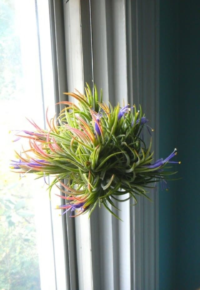 As Far As Dehumidifying Houseplants Are Concerned, Tillandsia Practically  Takes The Cake. This Tropical Genus Of U0027Air Plantsu0027 Is The Part Of  Bromeliads ...