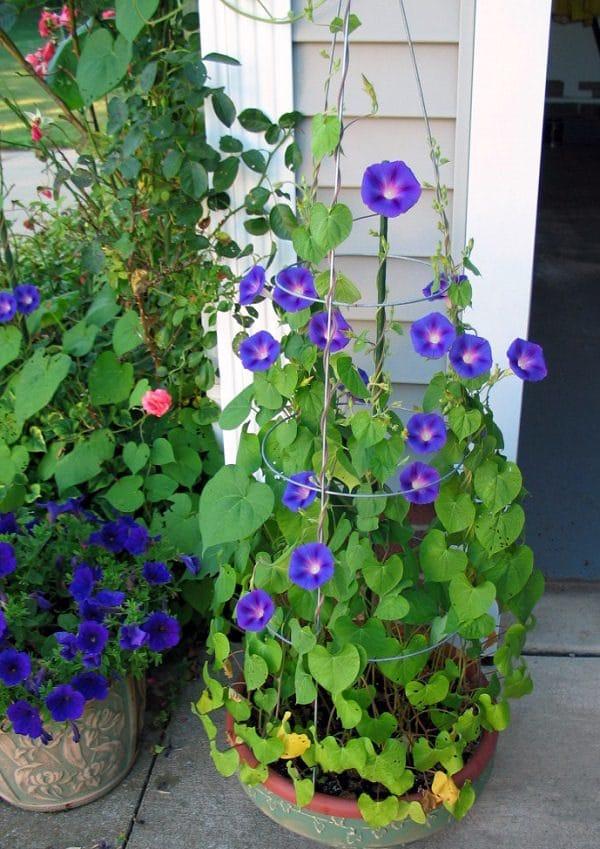 Blue rose flower garden