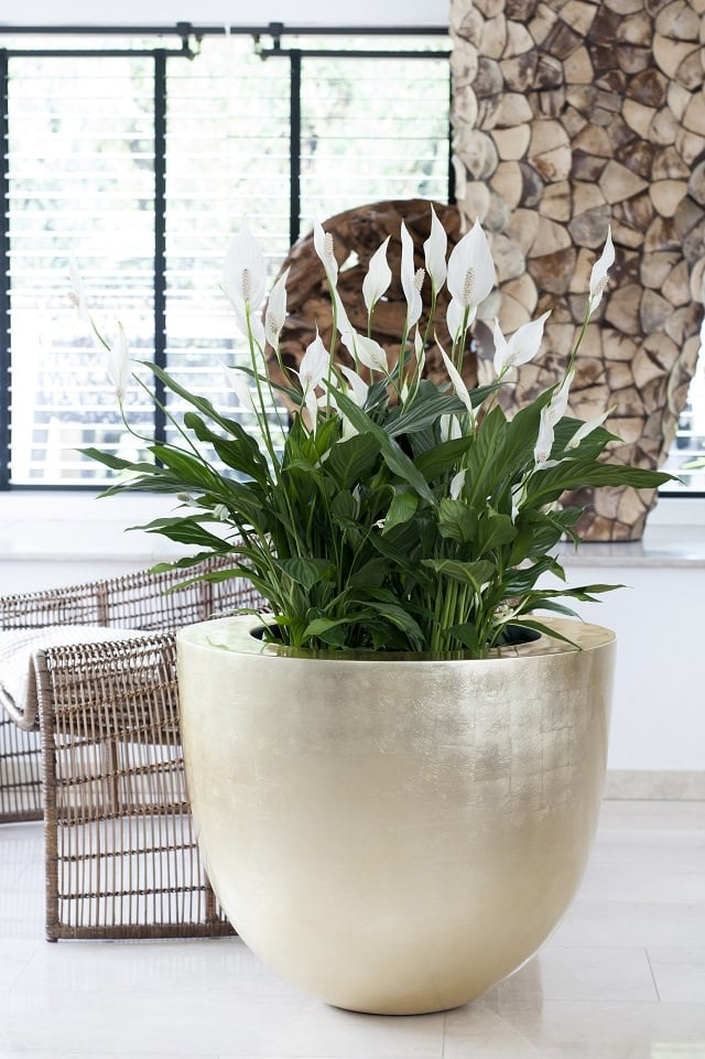 Superb A Beautiful Foliage Plant With Serene White Spathes, Peace Lily Is Known To Absorb  Moisture From The Surrounding Environment Through Its Leaves Despite ...