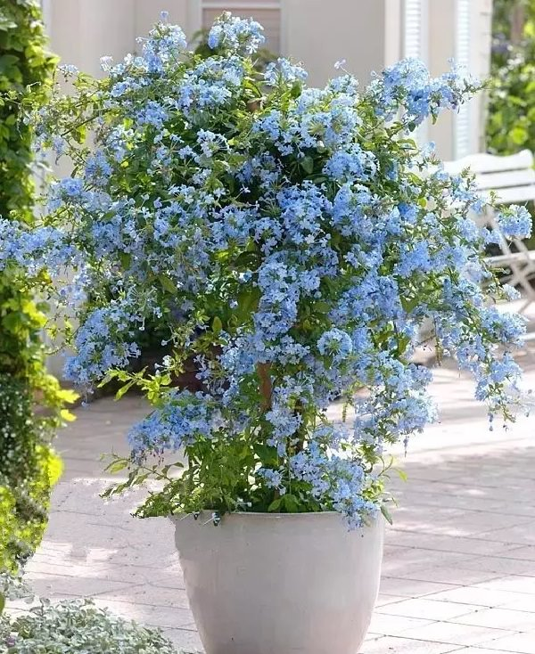 best blue flowers to grow in containers balcony garden web. Black Bedroom Furniture Sets. Home Design Ideas