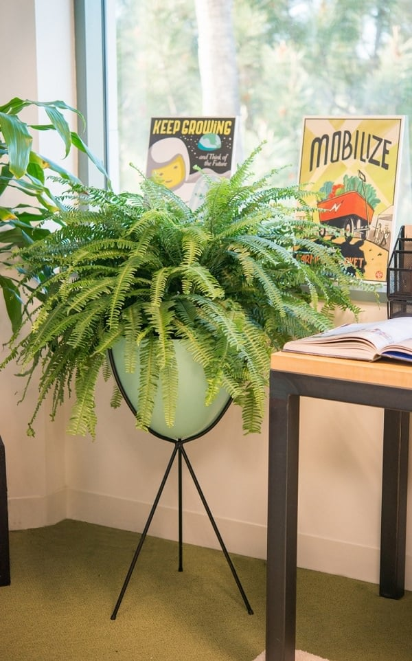 interesting fern house plants. Boston Fern 21 Best Ferns For Containers That You Can Grow Indoors  Outdoors