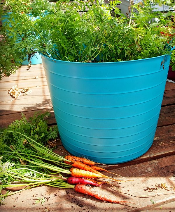 Growing Carrots In Containers From Seeds Indoors Container Gardening Ideas