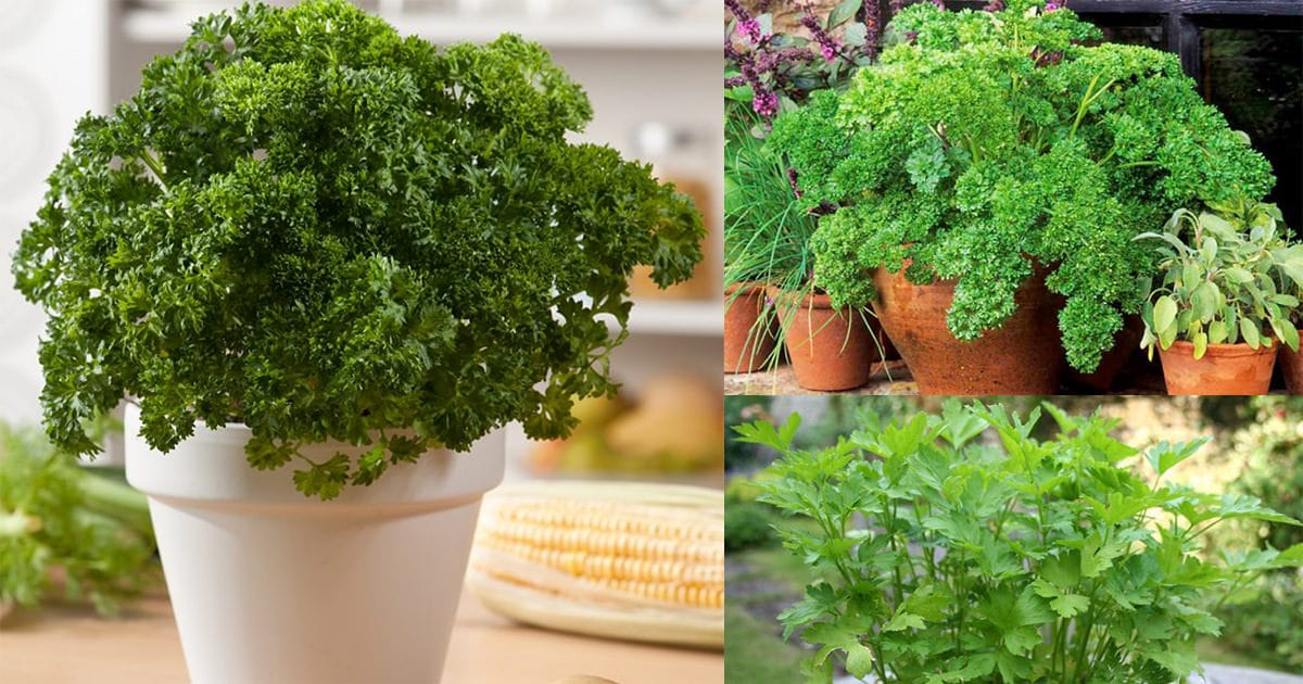 Growing Parsley In Pots How To Grow Parsley In