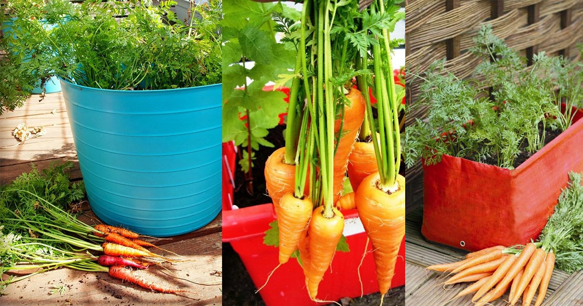 Growing Carrots In Containers How To Grow Carrots In Pots Balcony Garden Web