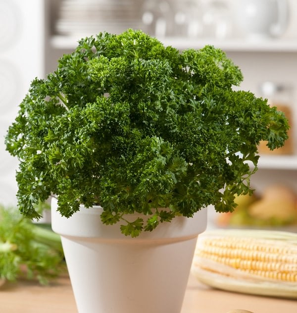 Growing Parsley In Pots | How To Grow Parsley In ...