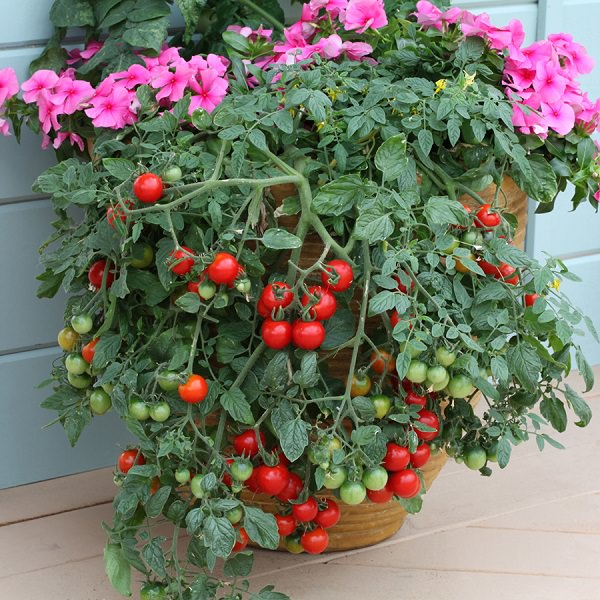13 Basic Tomato Growing Tips For Containers To Grow Best ...