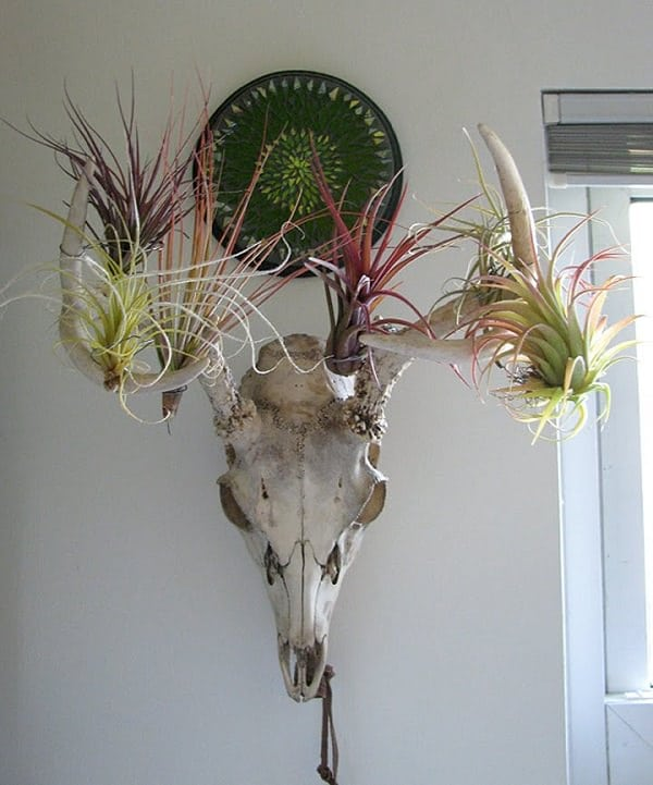 For that daring bold style, go ahead and utilize a skull; together with air  plants, the unusual combo is interesting, especially for Halloween  decorations!