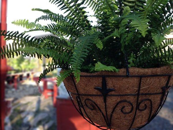 Best Hanging Ferns Ferns For Hanging Basket Balcony