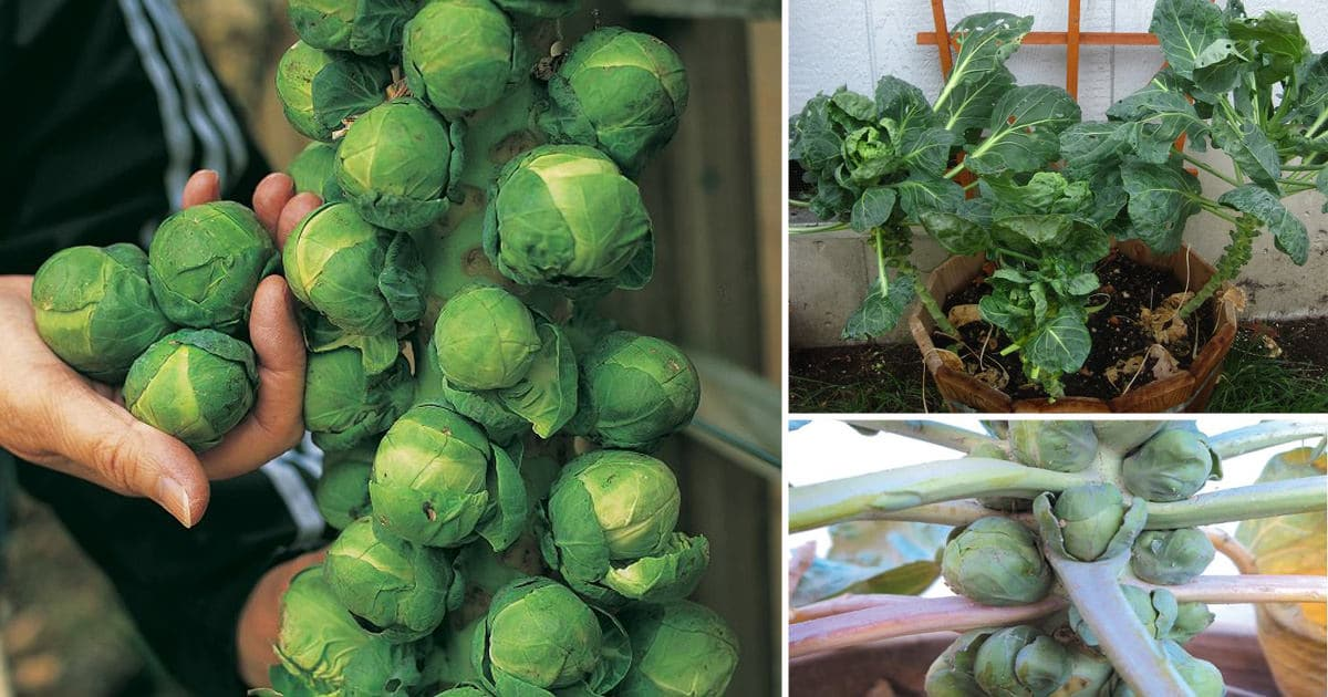 Growing Brussels Sprouts In Containers   How To Grow ...