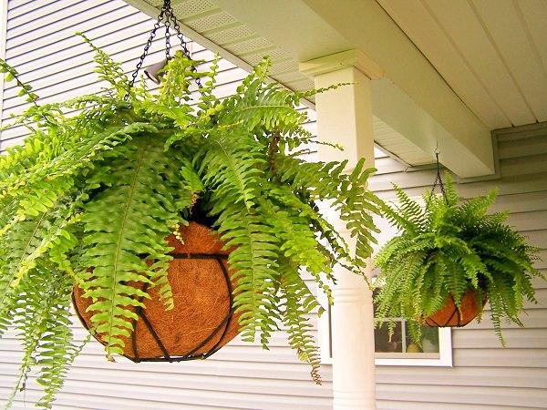 Best Plant Food For Boston Ferns