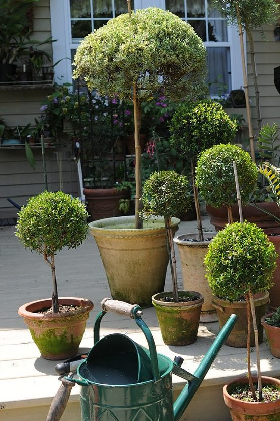 Topiary Ideas Part - 45: Herb Topiary From Cuttings