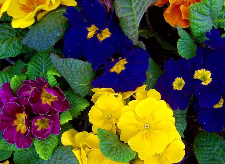 Most fragrant flowers according to gardeners balcony garden web primrose flower mightylinksfo
