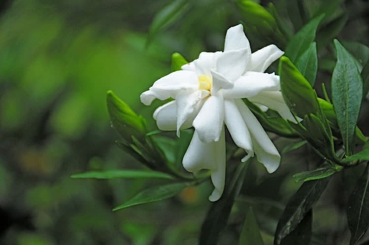 Most fragrant flowers according to gardeners balcony garden web white gardenia flower mightylinksfo