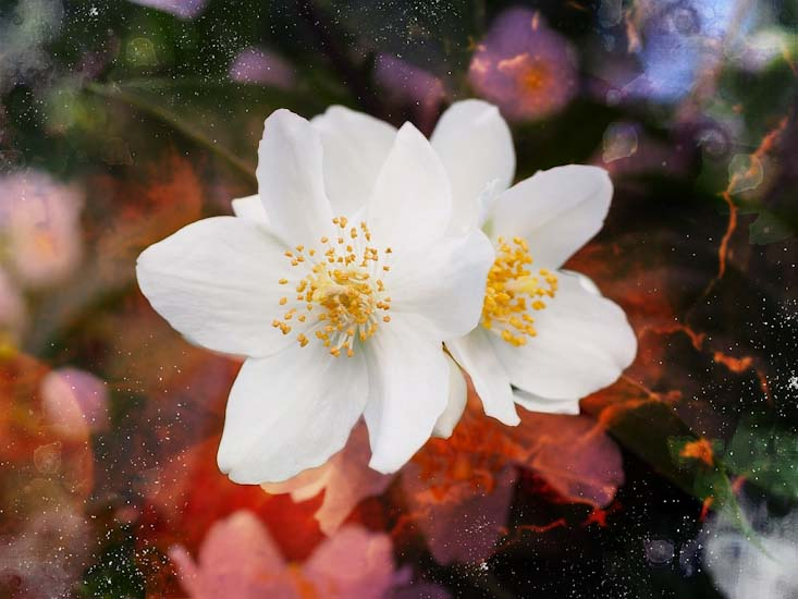 Most fragrant flowers according to gardeners balcony garden web its a cold weather plant suitable in usda zone 4 7 blooms in summer mock orange flowers emanate a pleasant orange like odor that is refreshing like mint mightylinksfo
