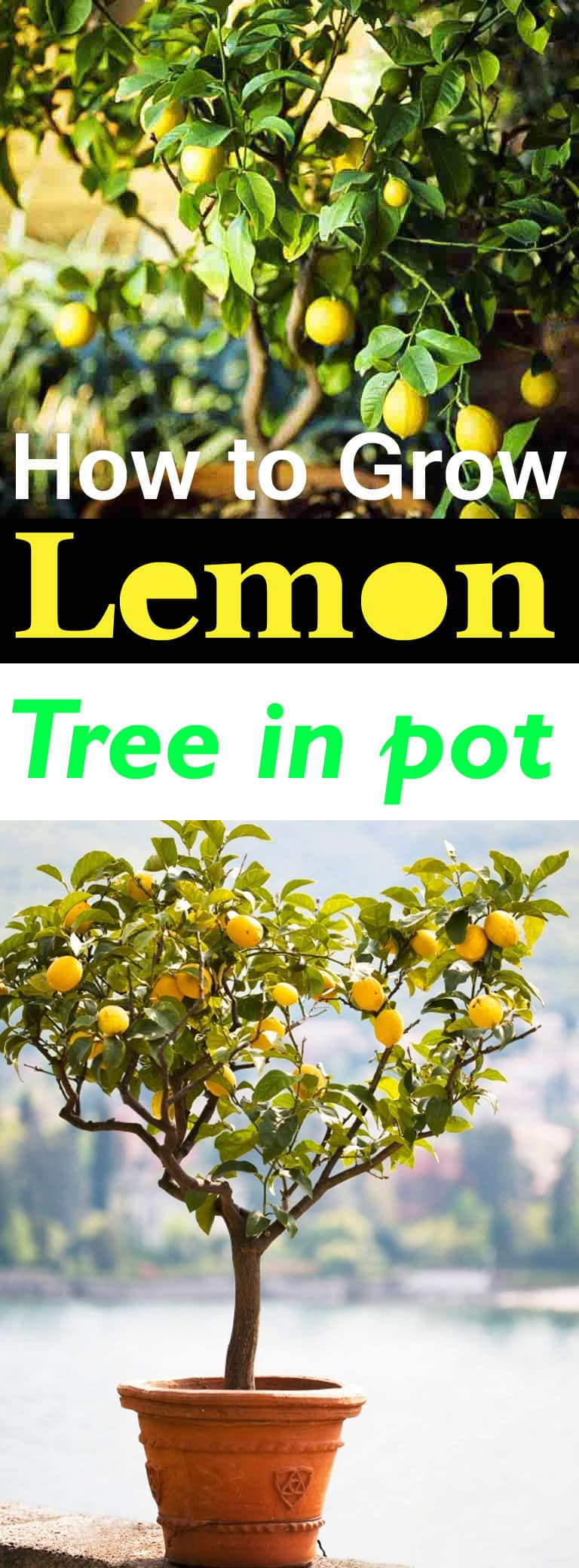 How To Grow It And How To Use It For: How To Grow A Lemon Tree In Pot