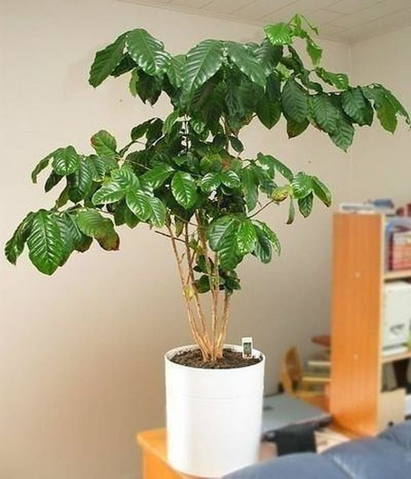 How to Grow a Coffee Plant | Care and Growing at Home Coffee Plant House Indoors on indoor tobacco plant, indoor bamboo plant care, indoor fig plant, indoor oak plant, indoor white plant, indoor lime tree, indoor avacado plant, indoor rubber plant, indoor water plant, indoor plants that clean the air, indoor lemon plant, indoor lilac plant, indoor coconut plant, indoor grass plants, indoor garlic plant, ideas for front of house plant, indoor citronella plant, indoor papaya plant, indoor wheat plant,