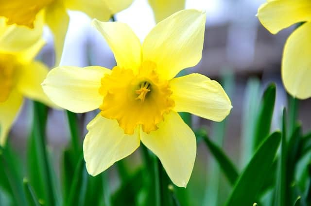 13 common flowers that are poisonous toxic flowers daffodil narcissus what flowers are poisonous to dogs mightylinksfo