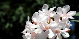 poisonous flowers