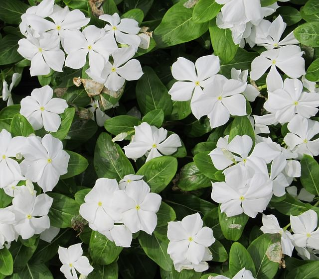 13 common flowers that are poisonous toxic flowers most poisonous flowers 7mini mightylinksfo