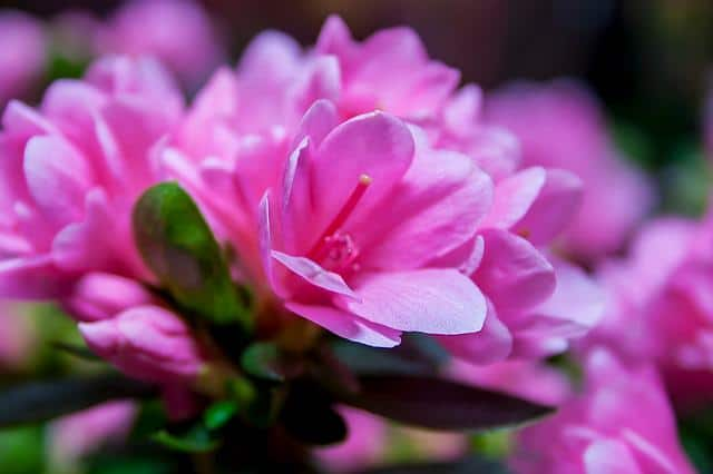 flowers that are poisonous to dogs