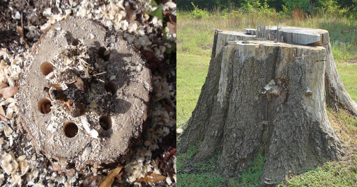 Getting rid of tree stumps