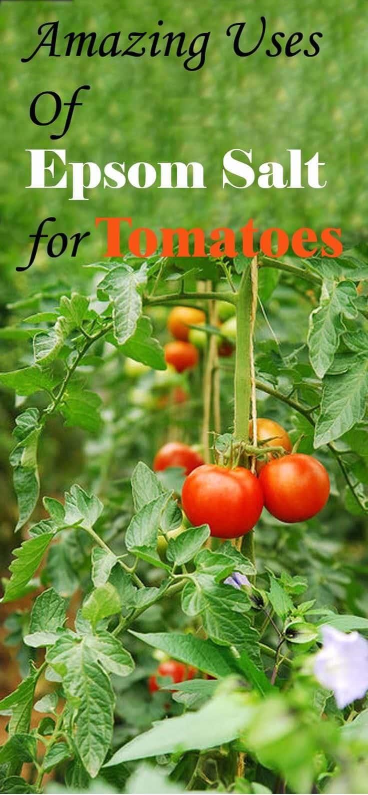 Epsom Salt For Tomatoes 3 Uses